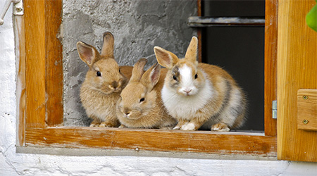 مشروع تربية الأرانب في المنزل